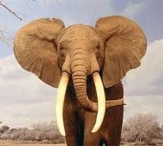 163a-elefante