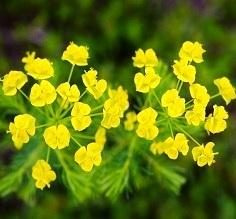 229a-fiori gialli