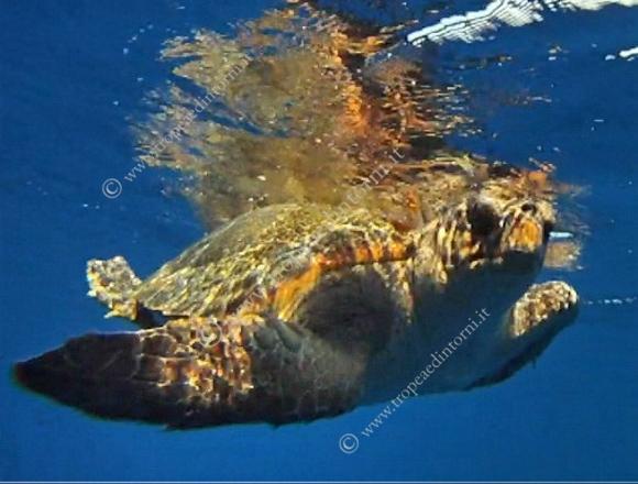 L'esemplare di tartaruga adulto caretta caretta - foto Craveli