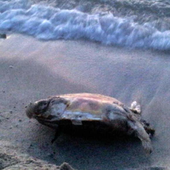"""Un esemplare di tartaruga, della specie """"Caretta Caretta"""", trovata morta"""
