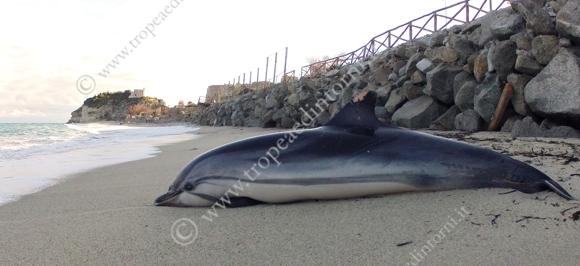 """Delfino spiaggiato nei pressi della """"Marina del Convento"""" - foto Libertino"""