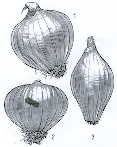 1) forma rotondo-ovale detta «a campana»; 2) a trottola, detta «a farticchio»; 3) a melanzana. (archivio Reda)